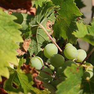 Raisin dans la vigne du gite nature